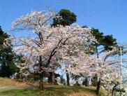 【桜・見ごろ】熊野神社(秋山光朝館跡)