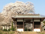 【桜・見ごろ】伝嗣院