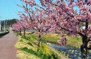 【桜・見ごろ】西古瀬川の八幡桜