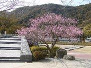【花・見ごろ】吉香公園の梅