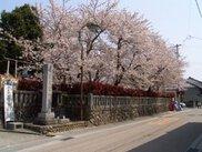 【桜・見ごろ】三熊野神社