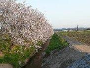 【桜・見ごろ】天竜浜名湖鉄道沿線(桜木駅から原谷駅)
