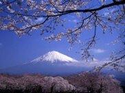 【桜・見ごろ】大石寺