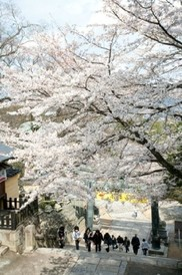 【桜・見ごろ】金刀比羅宮