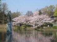 【桜・見ごろ】石神井公園