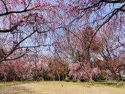 【桜・見ごろ】大堰宮公園