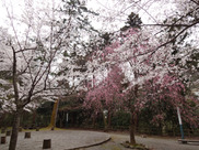 【桜・見ごろ】鶴仙渓桜公園