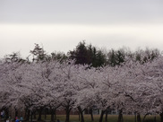 【桜・見ごろ】加賀市中央公園