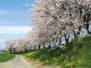 【桜・見ごろ】輪中堤の桜