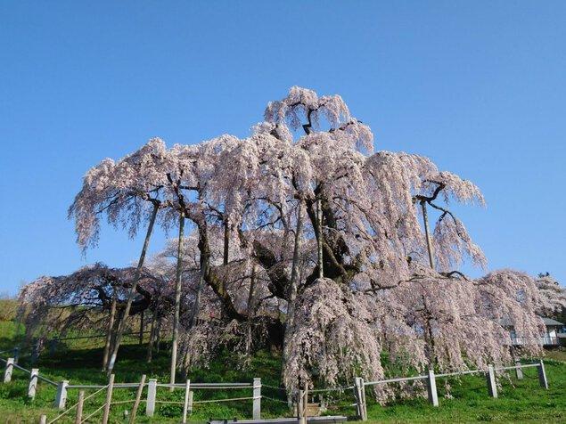 三春滝桜の桜