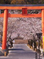 【桜・見ごろ】蒲生八幡神社