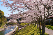 【桜・見ごろ】観音滝公園