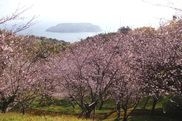 【桜・見ごろ】魚見岳