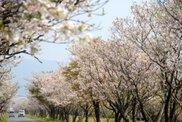 【桜・見ごろ】串良平和公園