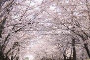 【桜・見ごろ】霧島市溝辺上床公園