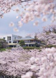 【桜・見ごろ】丸岡公園