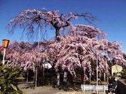 【桜・見ごろ】護法山毘沙門院