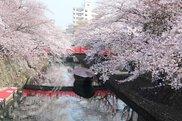 【桜・見ごろ】大垣 奥の細道むすびの地