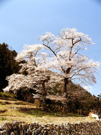 苗代桜の桜