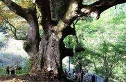 つるぎクラブ定番巨樹めぐりツアー 定番(4月)