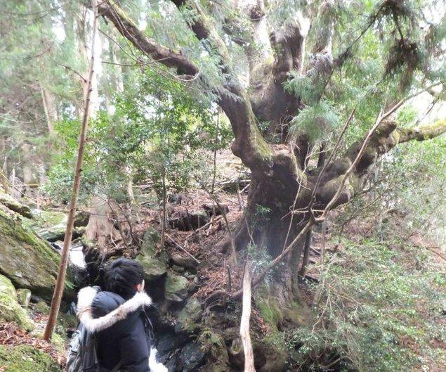 幻の巨樹 荒谷のトチノキを見に行こう