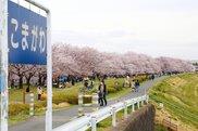 【桜・見ごろ】泉町桜堤公園の桜並木