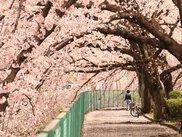 【桜・見ごろ】東坂戸団地の桜並木