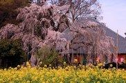【桜・見ごろ】慈眼寺のシダレザクラ