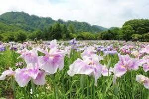 【花・見ごろ】錦秋湖川尻総合公園あやめ園