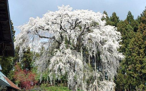 内出のサクラの桜
