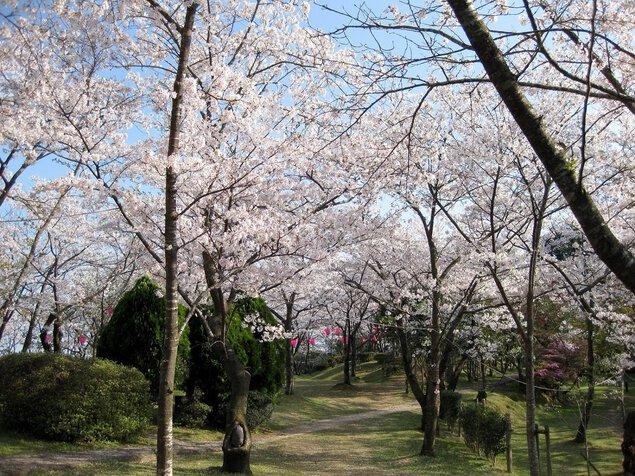 為松公園の桜