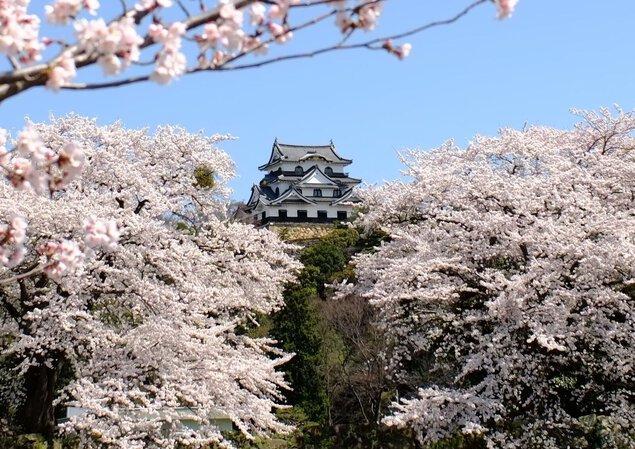 国宝・彦根城の桜