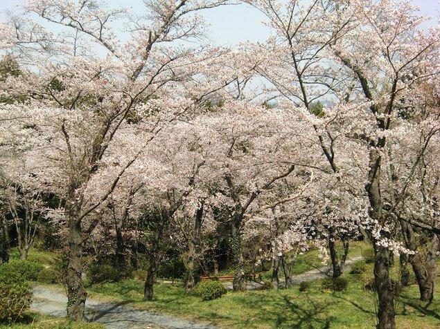 羽黒山公園の桜
