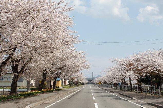 清川の千本桜の桜