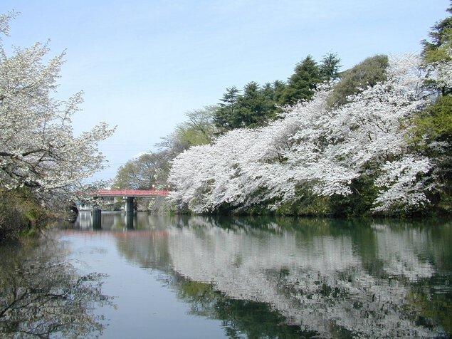 高岡古城公園の桜