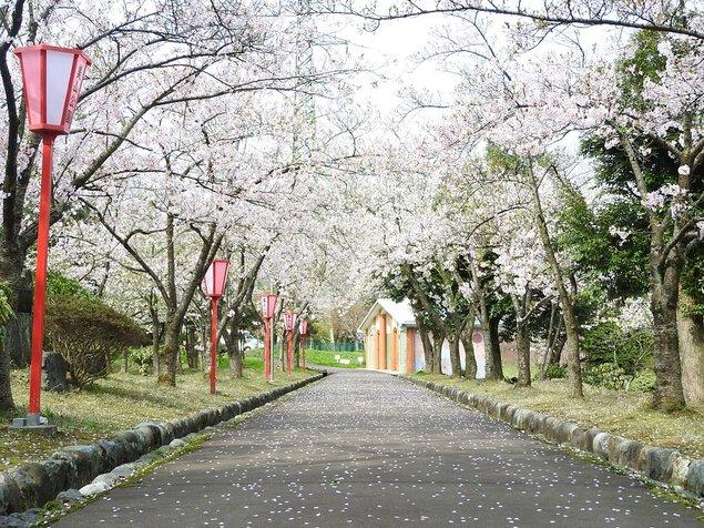 美山公園の桜