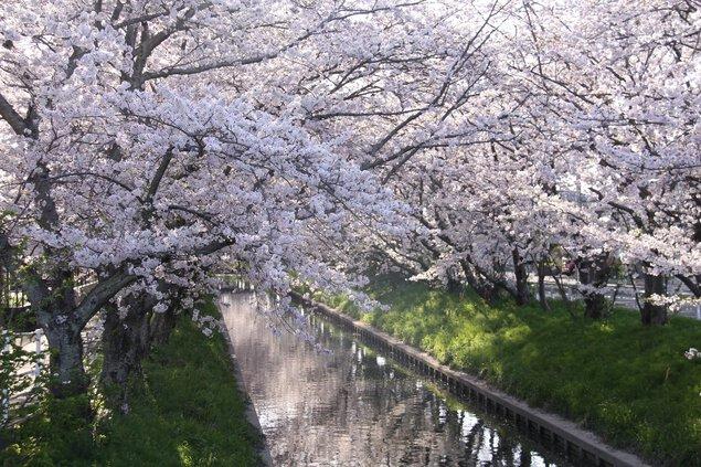 木屋川堤の桜
