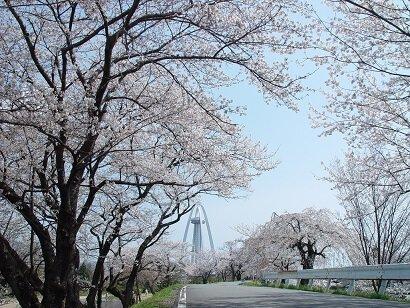 木曽川堤の桜