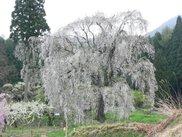 水中のシダレ桜