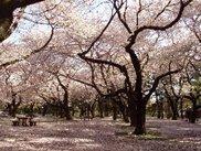【桜・見ごろ】小金井公園