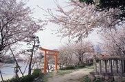 【桜・見ごろ】天王川公園