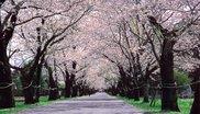 【桜・見ごろ】母智丘公園