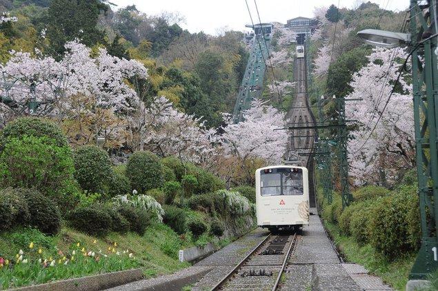 傘松公園の桜