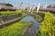 免々田川(メメダガワ) 菜の花・桜まつり