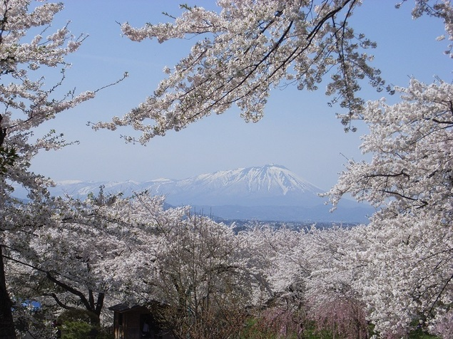 紫波城山公園の桜