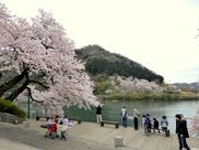 津久井湖城山公園周辺の桜