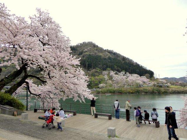 県立津久井湖城山公園の桜
