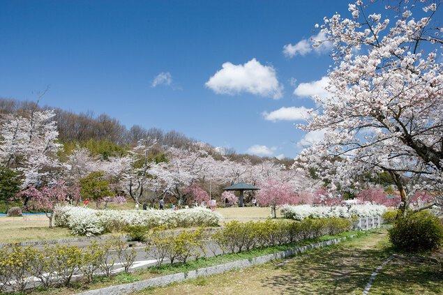水源公園の桜