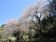 【桜・見ごろ】田ノ頭 しだれ桜