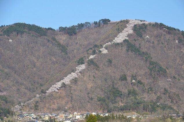 【桜・見頃】光城山